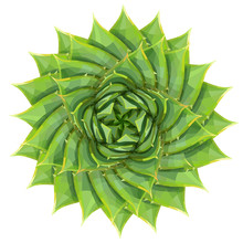 Spiral Aloe Succulent Houseplant Or Desert Plant Vector Illustration