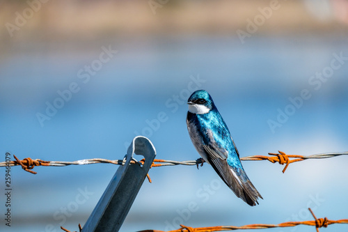Fotografia  one beautiful blue swallow resting on rusted bob wire on a sunny day