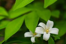 Orange Jasmine Blooming In The Garden, White Flower, Close Up - Image