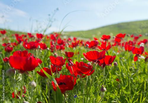 Fototapeta Flowers red poppies blossom on wild spring field. Beautiful field of fresh red poppies reach out towards the sun in sunny day with brightly green grass. obraz na płótnie