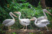 Group Of White Pelicans Waitin...