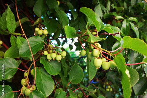 wild actinidia plant Wallpaper Mural
