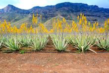 Aloe Vera Plantation And Free ...