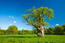 Gnarly Old Oak (Quercus Robur)...