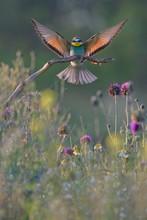 European Bee Eater Above Meado...