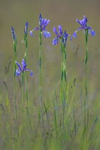 Siberian Irises Or Siberian Flags (Iris Sibirica), Pannonian Steppe, Puszta, Kiskunsag National Park, Hungary, Europe