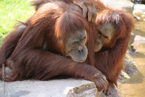 Deurstickers Aap Orangutan
