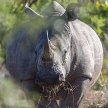 White Rhinoceros (Ceratotherium Simum) Eating Grass, Manyeleti Game Reserve, South Africa, Africa