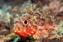 Black Scorpionfish, (Porcaena Porcus), Sithonia, Chalkidiki, Also Halkidiki, Aegean, Mediterranean, Greece, Europe