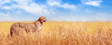 Cheetah In The African Savannah. Africa, Tanzania, Serengeti National Park. Banner Design.