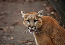 The Cougar (Puma Concolor), Al...