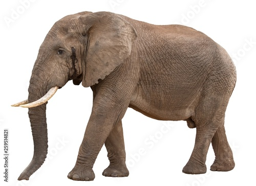 Canvas Prints Elephant Big Male African Elephant in Musth - isolated