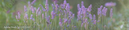 Foto auf Gartenposter Khaki Lavendel, Blumenwiese, Panorama