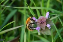 Carder Bumblebee On Dead Nettl...