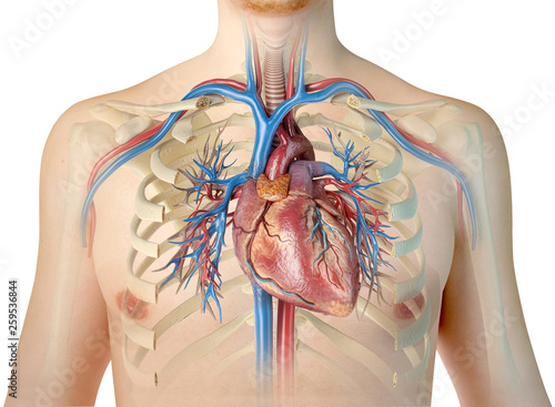 Human heart with vessels and bronchial tree. Front view.