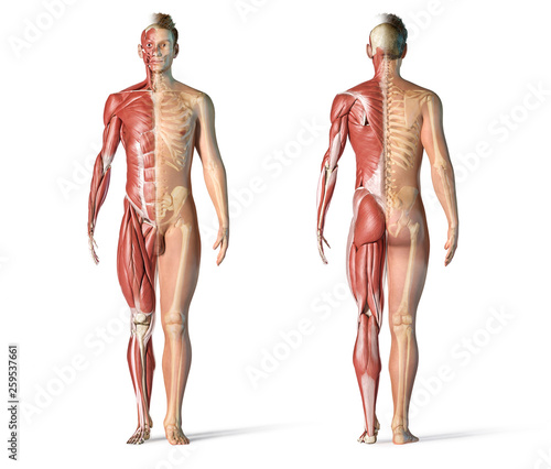 Fotografie, Tablou  Man anatomy muscular and skeletal systems.