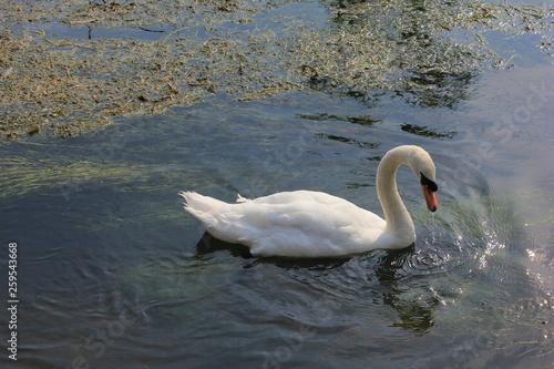 Foto auf Acrylglas Schwan hyde park animals
