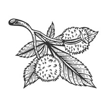 Chestnut Tree Branch Sketch Engraving Vector Illustration. Scratch Board Style Imitation. Hand Drawn Image.