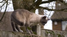 Ragdoll & British Short Hair Cat On Garden Fence During Spring (slow Motion)