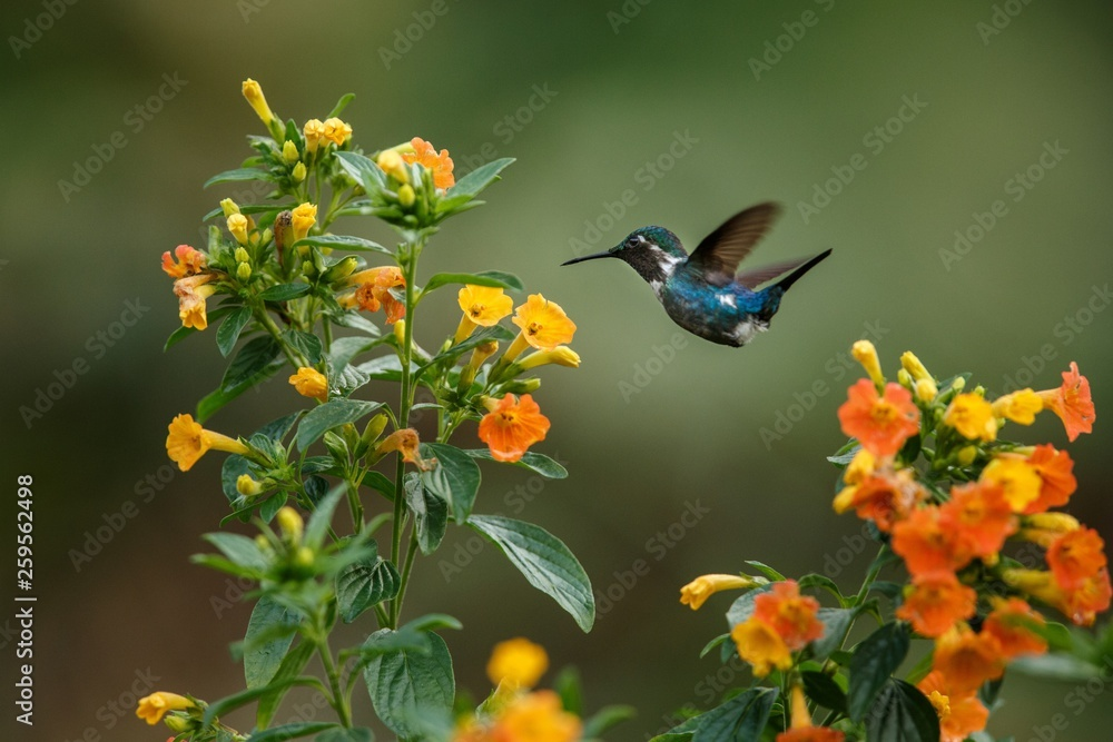 Endemic Santa Marta woodstar hovering next to yellow flowers in garden,hummingbird with outstretched wings,Colombia,bird,clear background,nature scene,wildlife,exotic adventure,beatiful small bird