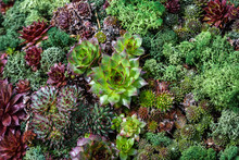 Background With Different Types Of Natural Green Succulent Plants In Direct Sunlight