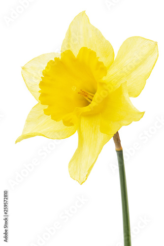 Garden Poster Narcissus Flower of yellow Daffodil (narcissus), isolated on white background