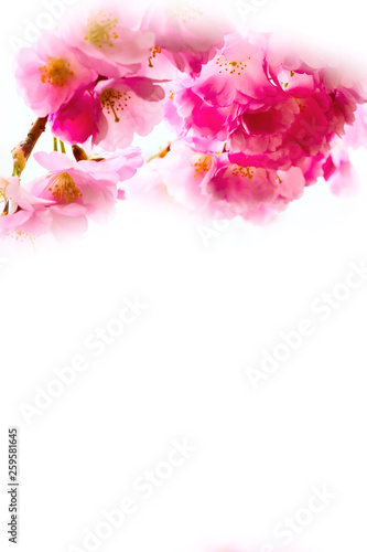 Foto op Canvas Bloemen vrouw holiday background with spring pink cherry blossom, sakura flowers branch