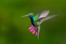 Black-throated Mango Hummingbi...