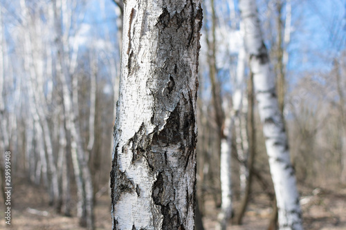 Garden Poster Birch Grove Trunk of white birch close-up against the background of birches in the spring warm day