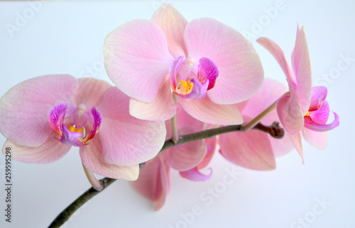 Delicate and luxurious pink with purple orchid flowers. Beautiful floral composition, greeting card, wallpaper