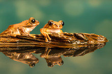 Two Peacock Tree Frogs (Leptop...