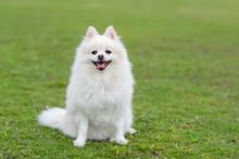 Pomeranian Dog Sit On Green Lawn