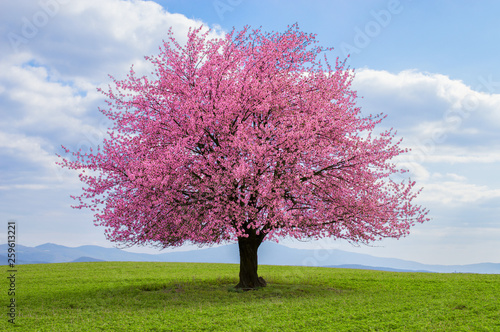 Photographie Flowering tree of Japanese sakura in spring