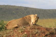 Famale Lion Lying In The Dry G...