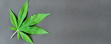 Green Leaf Of Hemp On A Dark Background. Young Cannabis Plant. Northern Light Strain. Drug Indica With CBD. Legal Cultivation Of Marijuana At Home