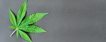 Green Leaf Of Hemp On A Dark B...