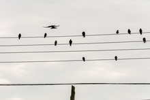 Group Of Small Birds On Electric Wires Just Like A Music Score, In Joaquina Beach, Florianopolis, Brazil.