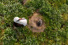 Laysan Albatross Female With C...
