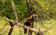 Indian Darter Or Snake Bird, B...