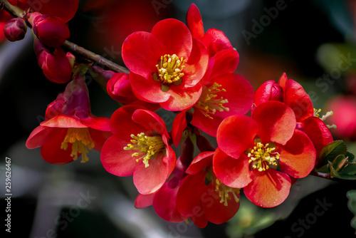 Makroaufnahme von Blüten der roten japanischen Zierquitte Fototapet