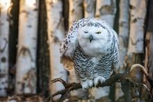 Winking Snowy Owl Looking Moro...