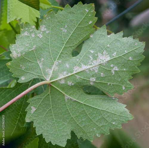 Obraz na plátně Sick grape leaf closeup