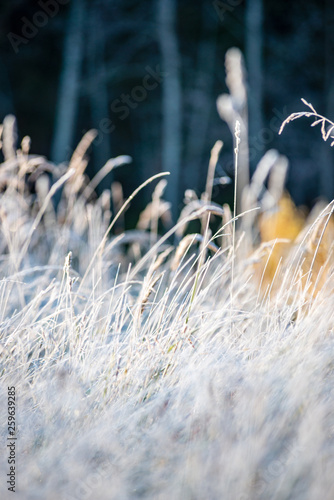 Fototapety, obrazy: frost covered grass and tree leaves in sunny winter morning light
