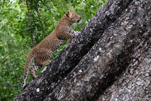 Leopard Cub Climbs A Tree In Sabi Sands Animal Reserve, Kruger, South Africa.