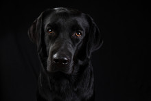 Cute Black Dog Looking At Camera On Black Background
