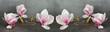 Wunderschöne Magnolien isoliert auf anthrazitem Hintergrund - Panorama Banner lang