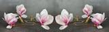 Fototapeta Kwiaty - Wunderschöne Magnolien isoliert auf anthrazitem Hintergrund - Panorama Banner lang