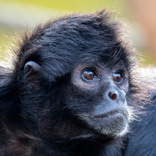 Colombian Black Spider Monkey ...
