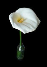 Flor De Cala O Cartucho De Color Blanco Y Fondo Negro 2