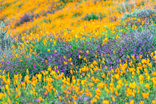 Poppies Blooming On Hillside